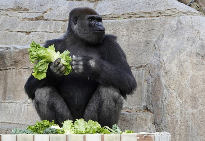 Frank, a gorilla, eats lettuce at the San Diego Zoo Safari Park on May 19, 2020. The zoo's eight gorillas had been out of view to visitors after contracting the SARS-CoV-2 virus in January, but they have since recovered.