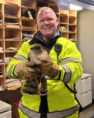 State Trooper Phil McLaine holds the red tail hawk that he rescued Monday, Feb. 15 from the left-hand travel lane on Route 2 in Leominster.