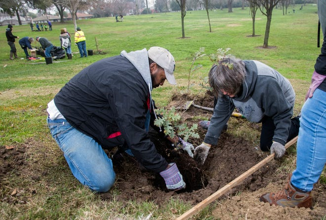 Volunteers Jack Hanson, left, and Katya Evanhoe plant a tree at American Legion Park in Stockton on Jan. 20, 2020. About 25 people planted 24 oak trees at the park as part of a day of service organized by the PUENTES nonprofit urban farming group, which provided the trees grown from acorns.