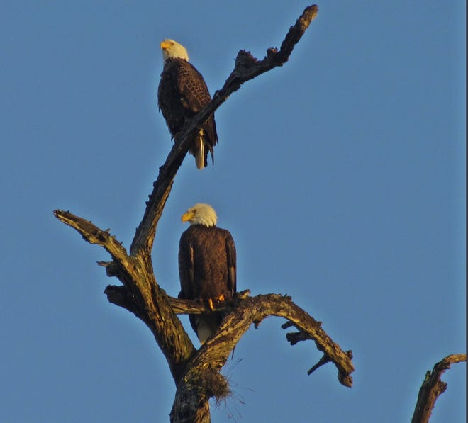 Eagles in Orangedale along the St. Johns River.