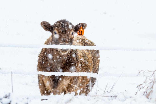 First snow of the winter and cattle are searching for forage.