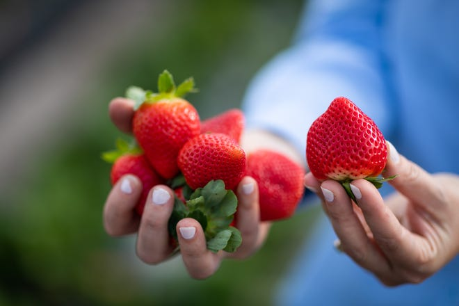 """To keep Florida strawberries at peak form, it's important to not break the """"cold chain"""" — a food supply chainfrom farms to supermarkets and applies to products that need to be refrigerated."""