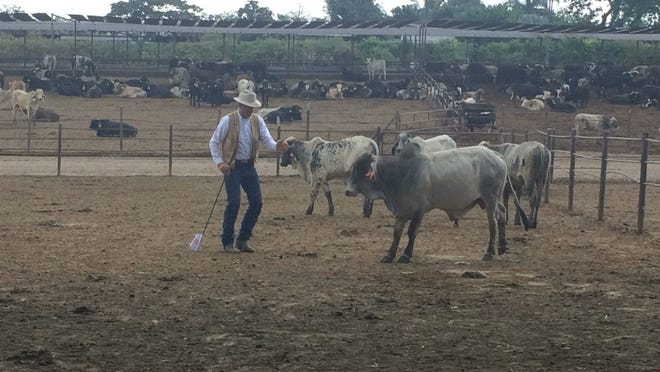 Pate says it's important to understand how to get your animals moving without triggering their survival mode.