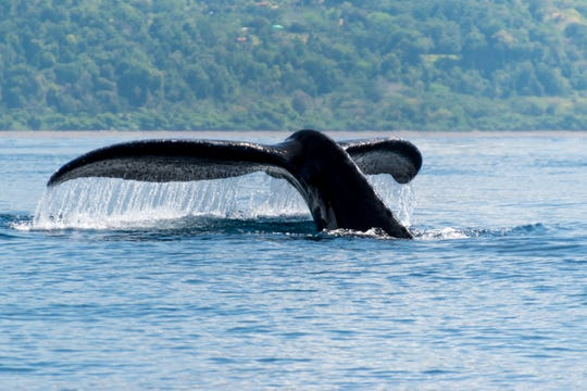Marino Ballena National Park is a great spot to see migrating humpback whales from mid-July and October, and again from December through March.
