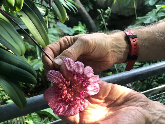 "Horticulturist Mark Bir holds the bloom of a Bulbophyllum orchid on display at the ""Orchids Forever"" show at the Cleveland Botanical Garden."