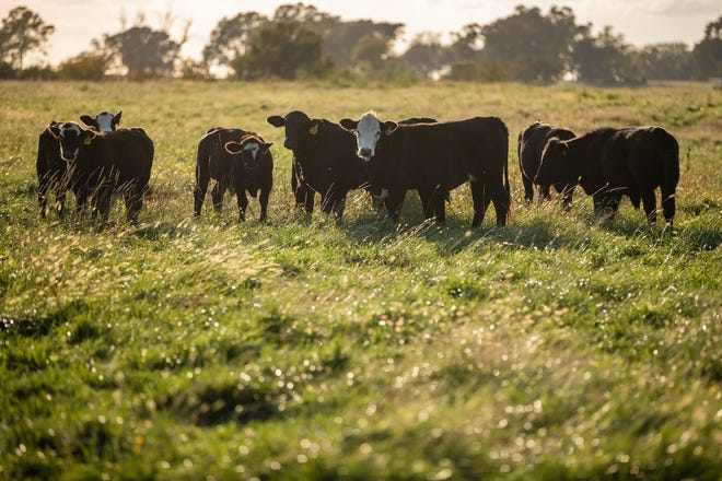 Cattle graze on a producer's property in Boswell, Oklahoma. Grazing is the single largest land use in the U.S., with about 85% of the nation's 655 million acres unsuitable for production of human food crops.