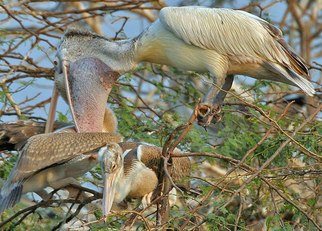 Spot-billed pelican with one of two chicks feeding from the parent's throat; Garapadu, Andhra Pradesh, India.