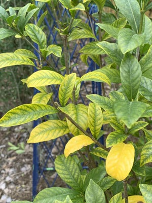 Yellowing leaves are normal for gardenias at this time of year. The plant sheds older leaves in early spring and again in fall. If the yellowing is occurring on new growth, however, it is probably because of micronutrient deficiency, most likely iron.