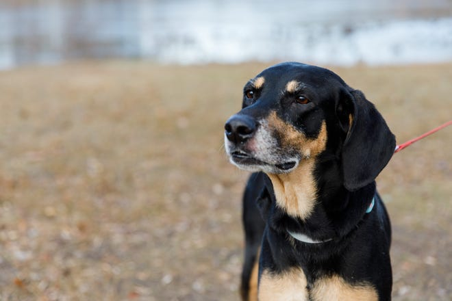 Lucy the hound is available for adoption through Rhode Home Rescue.