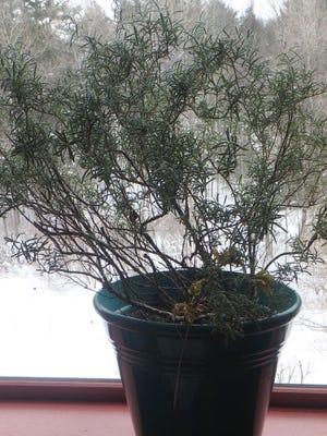 Rosemary plants need more water now than they did earlier in the winter.