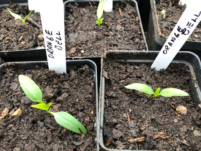 Now is a great time to start tomatoes, eggplant, squash and pepper seeds — such as these — indoors.