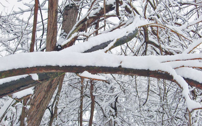 Snow on trees. File Photo