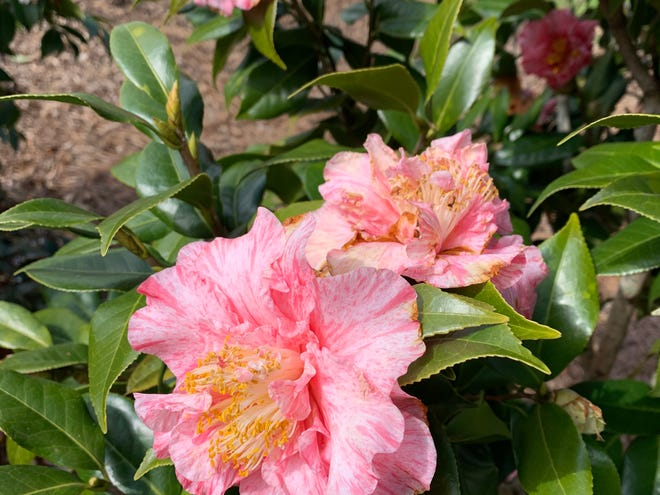 Happy birthday is a camellia japonica cultivar in bloom right now.