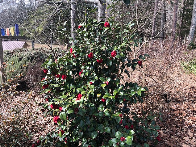 This camellia is covered with bright red flowers. The time to fertilize a camellia is after the shrub stops flowering in the spring. Apply a complete slow release fertilizer (10/10/10). Be sure and water afterward to release the nutrients into the soil.