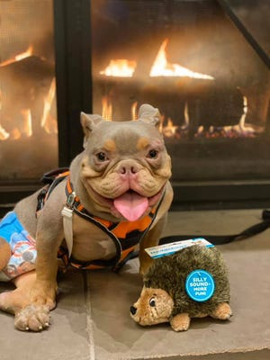 Jack, a 9-month old American Bully with spina bifida, has found his forever home after a Facebook post about him went viral.