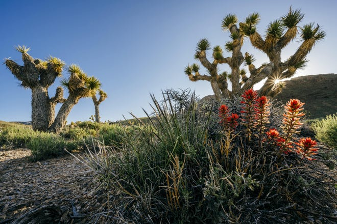 Afternoon light on Conglomerate Mesa's desert flora, a Joshua Tree and Indian Paint Brush.
