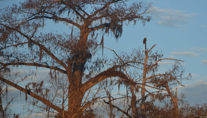 This bald eagle was hunting for its next meal on a Panhandle river. The towering trees make a perfect observation platform to scout the area for food.