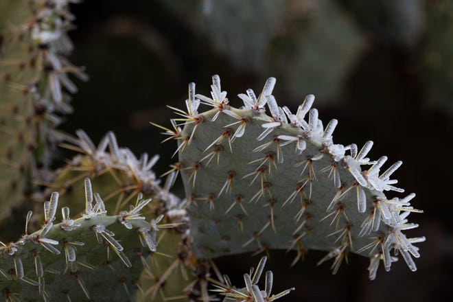 Ice clings to the spines of a prickly pear cactus Saturday, Feb. 13, in Midland, Texas.