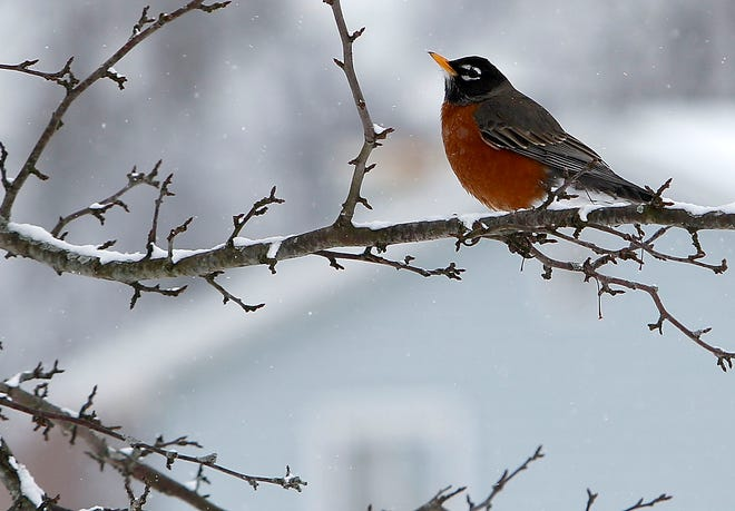 A robin rests on a branch of a tree with a little covering of snow on it on Township Road 1153 on Thursday, Feb. 18, 2021. TOM E. PUSKAR/TIMES-GAZETTE.COM