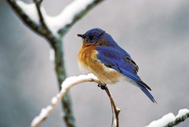 An eastern bluebird on shrub in snow.