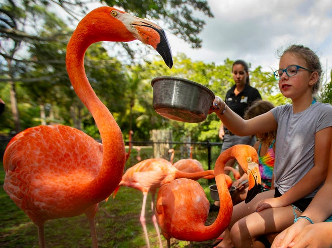 Sisters Lina, center, and Laila Schoenberger, who were 9 and 10 respectively and visiting from Minnesota, feed krill to Caribbean flamingos at Lion County Safari Feb. 13, 2020. Lion Country Safari has launched a new premium experience for guests in which they can mingle with the park's flock of Caribbean flamingos.