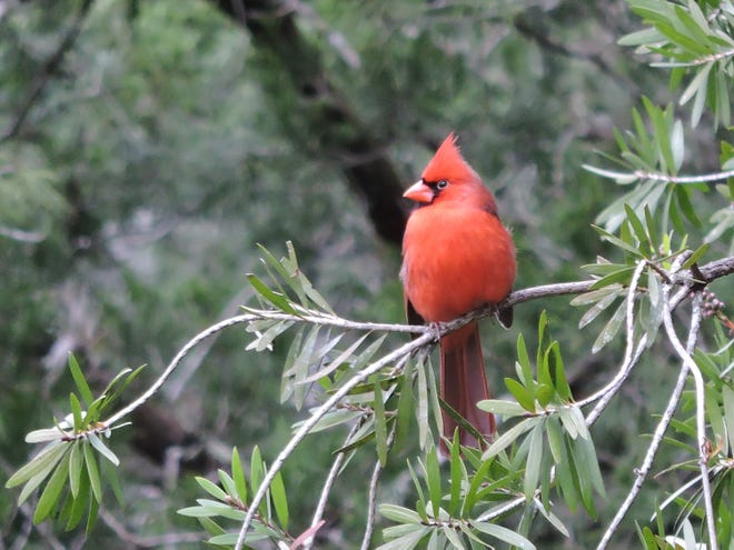 A cardinal in the Mill Creek area.