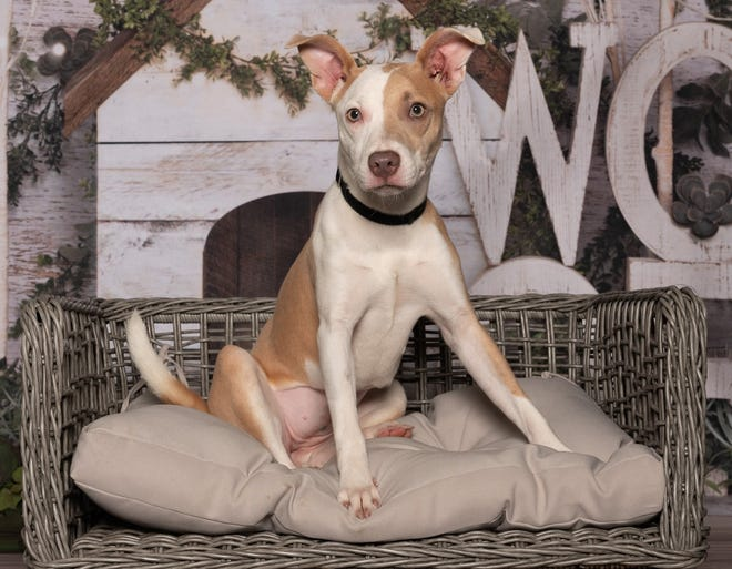 Before leaving the crate, ask yourself: Have you set up your pup for success in the potty department. Six-month-old Cardi (who is available for adoption from the Humane Society at Lakewood Ranch) appears to belong to that category.