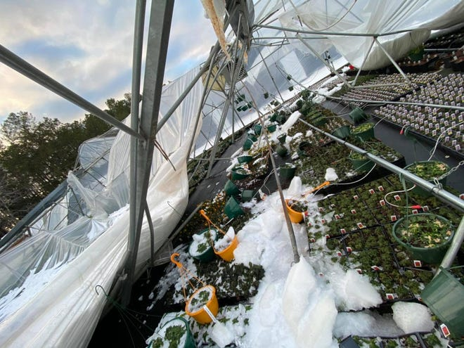 Plants exposed to freezing temperatures are seen in a Doug Young Nursery greenhouse that collapsed during back-to-back winter storms this week.