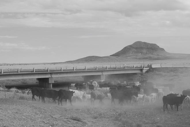 Ashton Graham helps drive a herd of cattle under a bridge in West Texas.