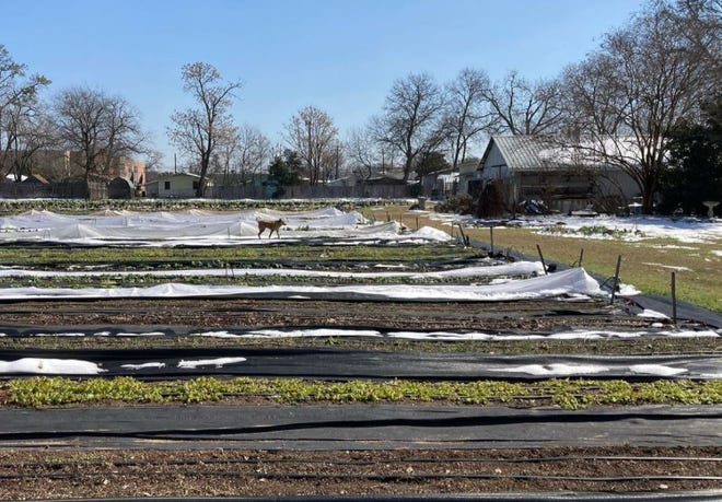 Boggy Creek Farm started the post-freeze recovery on Friday. The East Austin urban farm says its Saturday farmstand will be open.
