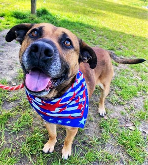 Buc is a sweet and smart Shepherd mix who's ready for his forever home.