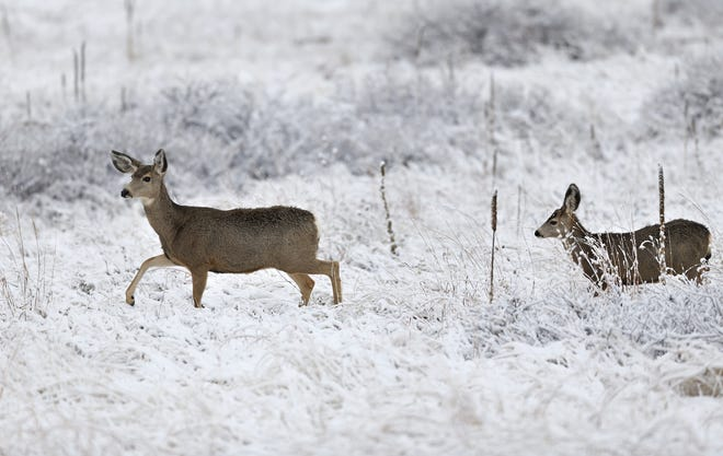 The Ohio Division of Wildlife is considering the expansion of discounted deer hunting permits in the hopes that more does can be hunted in the next deer season.