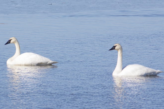 You may see many beautiful sights like these migrating swans  in wildlife areas this time of year.