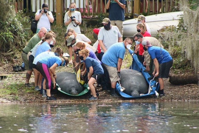 Two manatees are released at Blue Spring State Park after being cared for at the Jacksonville Zoo and Gardens' Manatee Critical Care Center.
