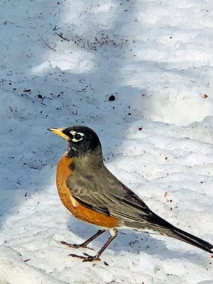 This robin is a sign that spring is coming soon.