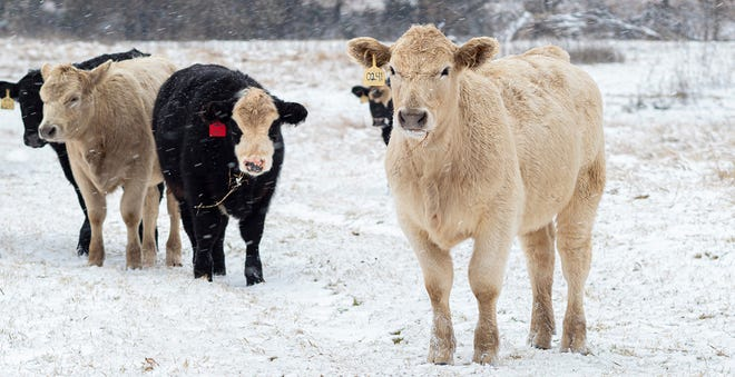 Food for thought: Cold stress in cattle increases body maintenance energy requirements but not those for protein, minerals or vitamins. Cattle generate about $3 billion annually to the Oklahoma economy.