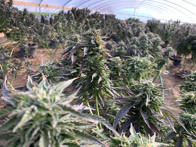 A marijuana grow in Phelan where sheriff's deputies served a search warrant on Thursday, Feb. 18, 2021.