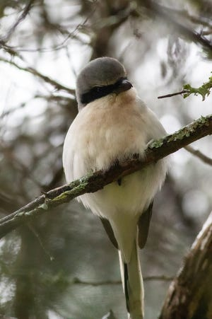 """The shrike, commonly called """"butcher bird,"""" has the appearance of a cute little songbird but in reality is a vicious predator that often impales his victims on thorns or barbed wire while he consumes them."""