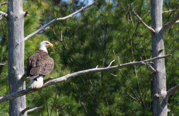 An adult eagle perches near Cape Cod's first successful Bald Eagle nest since 1905. The restoration of the species is among conference topics.