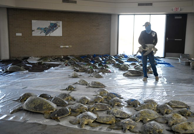 A volunteer drops off a stunned sea turtle, Friday, Feb. 19, 2021, in Port Aransas. ARK says that if someone locates a stunned turtle to call their hotline, 361-749-6793.