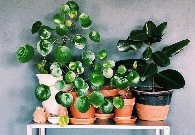 Pilea Peperomioides, or the Chinese Money Plant, are popular houseplants.
