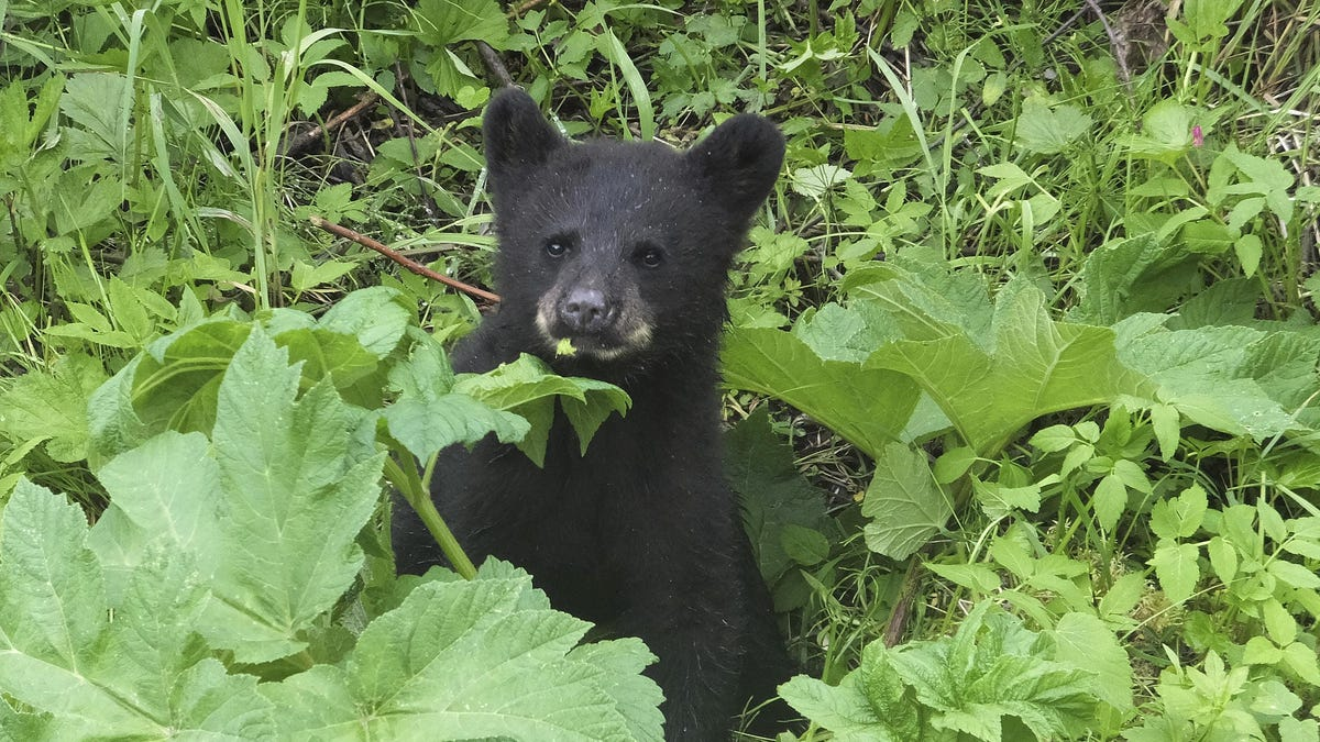 Alaska woman using outhouse attacked by bear, from below 3