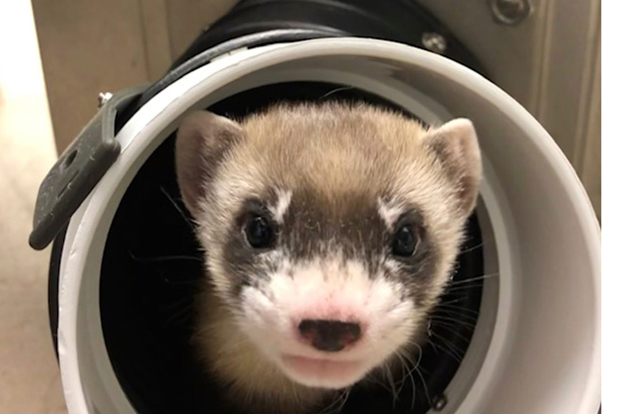 1st clone of US endangered species, a ferret, announced 2