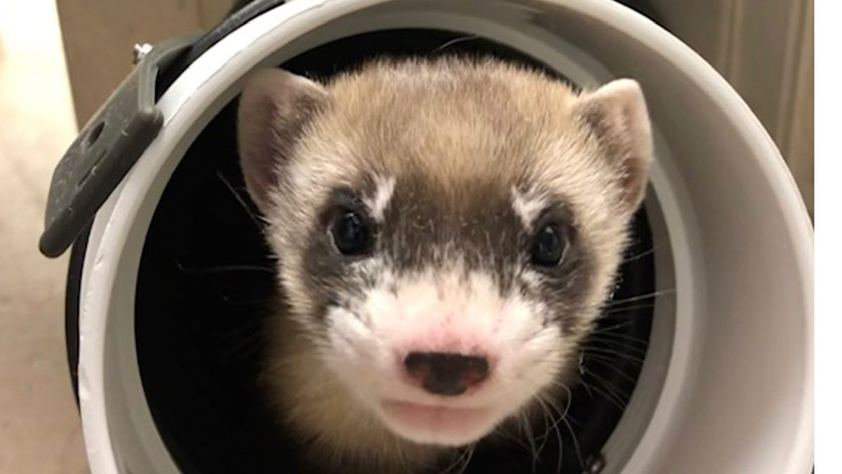 1st clone of US endangered species, a ferret, announced 3