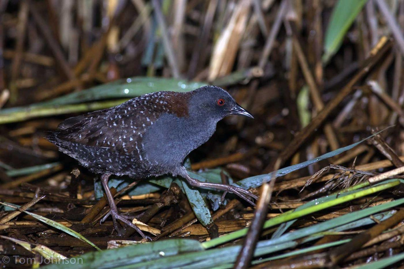 Florida wildlife agency to add rarely seen eastern black rail to endangered species list 3