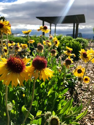 Even in a small space, there's room for beautiful perennials like these yellow blanketflowers (Gaillardia aristata).