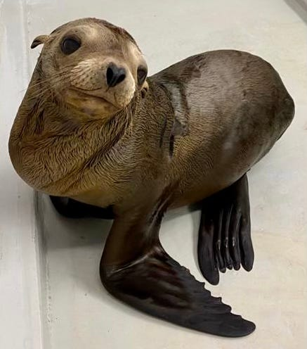 This is a sea lion pup dubbed No. 12. It was the 12th pup rescued by CIMWI in 2021.