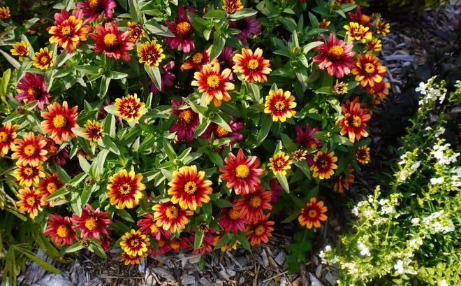 An All-America Selections trial winner, Zinnia Profusion Red Yellow Bicolor, displays its end-of-summer colors.