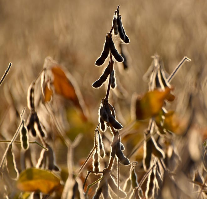Soybeans are seen during sunrise in September.