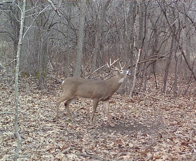 A 10-pointer comes into a scrape in mid-afternoon, the day before Thanksgiving.